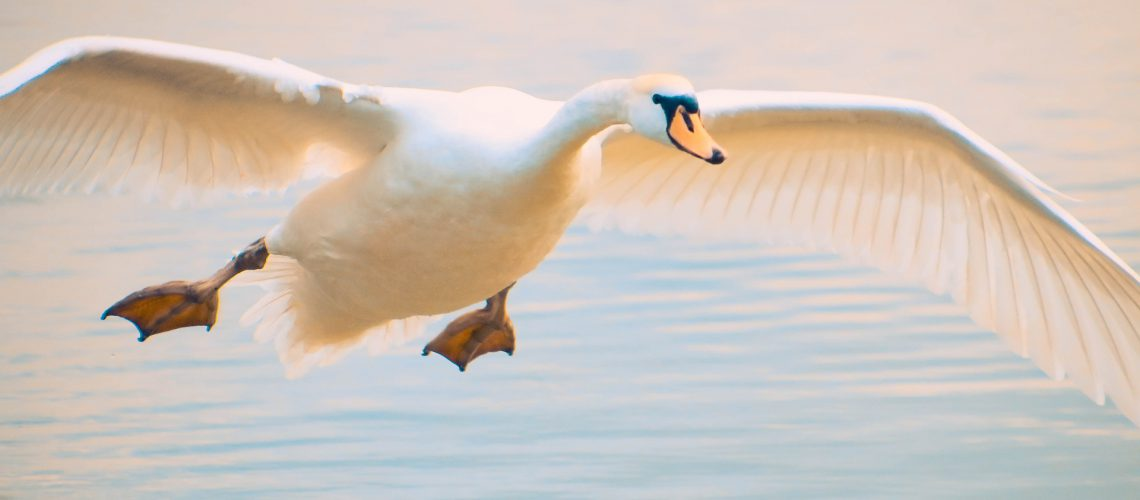 swan-4371110_1920